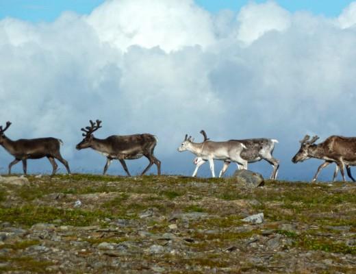 Rentiere am Nordkap auf der Insel Magerøya
