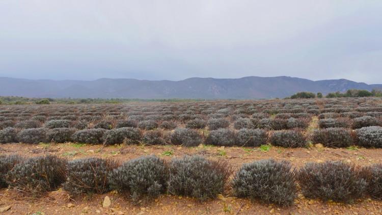 Lavendel-Provence1