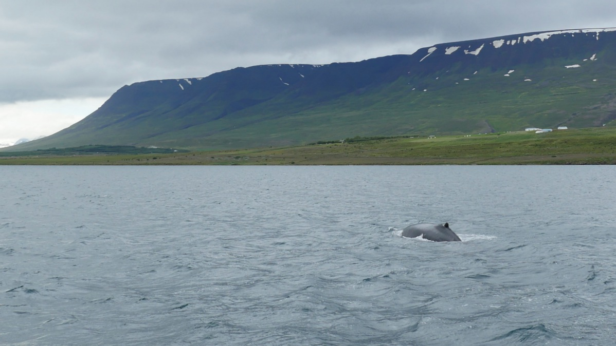 Whale-Watching-Iceland-