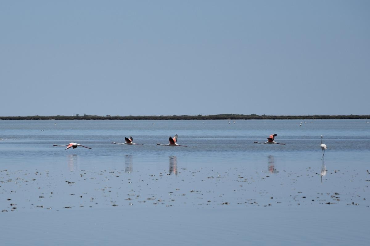 Flamingos-Camargue