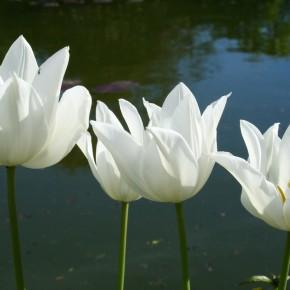 Tulpen im Schlosspark