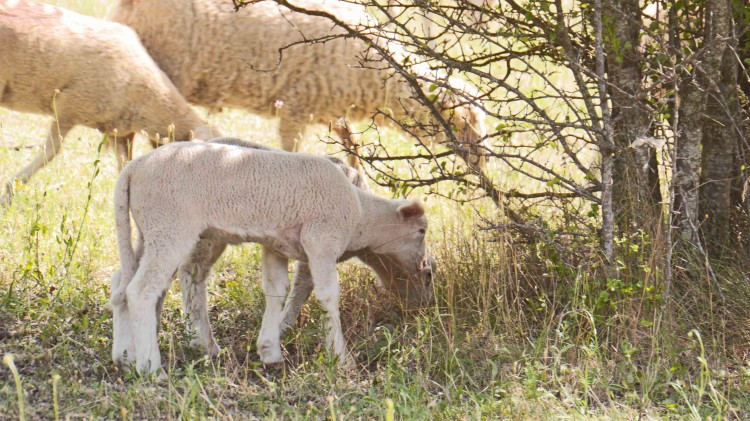 Schafe_Provence