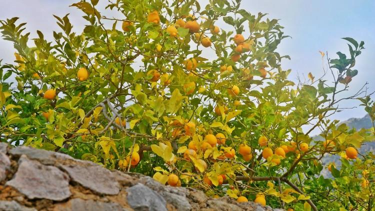 Zitronen-Mallorca.jpg